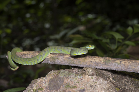 snake green pit viper in forest onThailand Stock Photo - 117117894