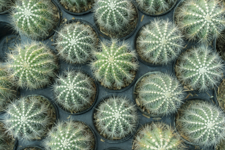 Cactus is the scientific name Mila sp. Stock Photo - 118814438