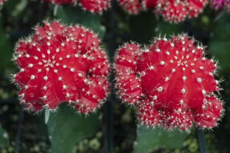 Cactus is the scientific name Mila sp. Stock Photo - 118846152