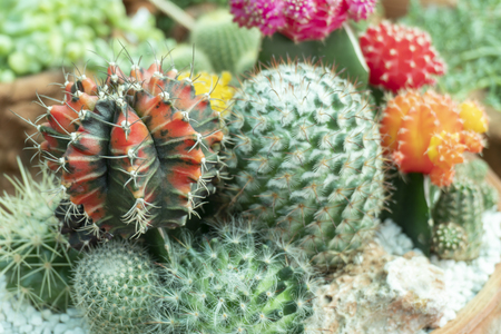 Cactus is the scientific name Mila sp. Stock Photo - 118846207