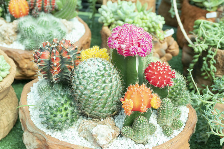 Cactus is the scientific name Mila sp. Stock Photo - 118846251