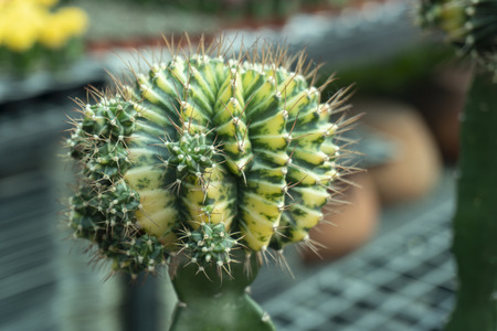 Cactus is the scientific name Mila sp. Stock Photo - 118846258