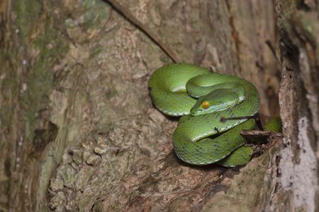 snake green pit viper in forest onThailand Standard-Bild