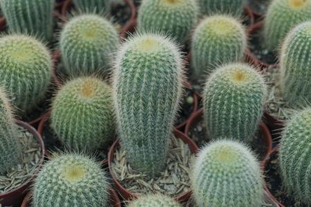 Cactus is the scientific name Mila sp. Stock Photo