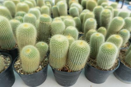 Cactus is the scientific name Mila sp. Banco de Imagens