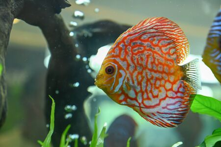 Beautiful fish, pompadour on wallpaper background Stock Photo