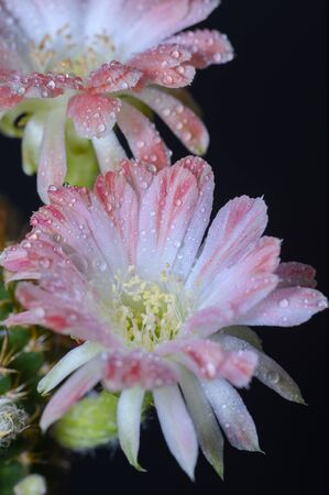 Cactus flowers on a black background 写真素材