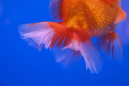 Beautiful fish on a blue background 写真素材