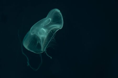 Jellyfish on a black background in nature