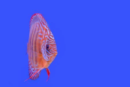 Beautiful fish, pompadour on wallpaper background Reklamní fotografie