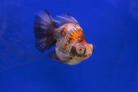 Beautiful fish on a blue background Reklamní fotografie