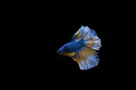 Betta fish on a black background