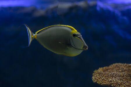 Tropical Fish Naso Tang (Naso lituratus) -Thailand on the Natural background