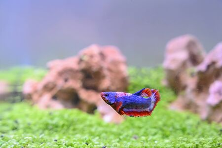 Betta fish of Thailand on the fish tank background