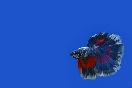 Thai betta fish on a blue background