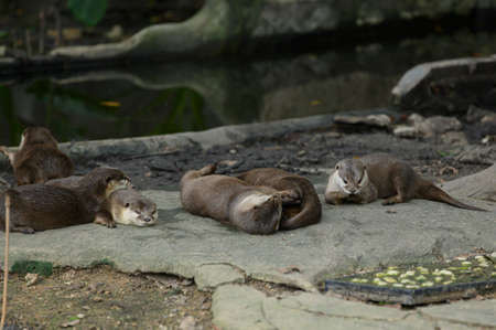 Many otters are combined in nature