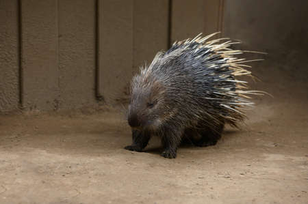 One hedgehog in the ground 版權商用圖片 - 155801624