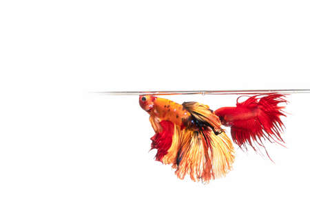 Two Thai fighting fish on white background with copy space