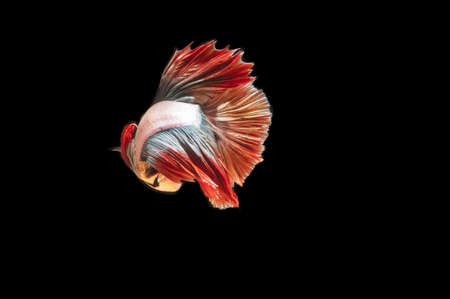 One Thai fighting fish on a black background with a copy space Archivio Fotografico