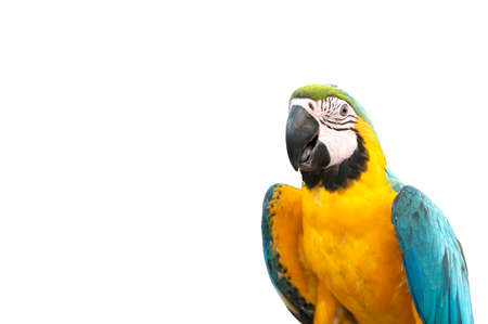 colorful macaw parrot isolated on white background with copy space