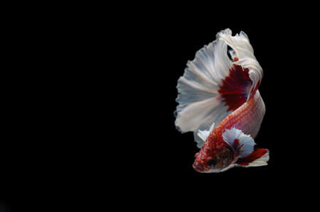 Red Thai fighting fish on black background with copy space Archivio Fotografico