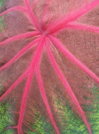 bonsai close-up of caladium leaves beautiful purple, green and white caladium plant leaves
