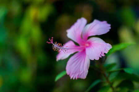 rosemallow: Hibiscus spp  and hybrid