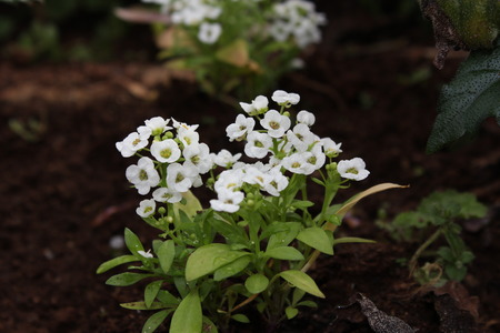 White Flowers in the garden from Doi Ang Khang Thailand photo