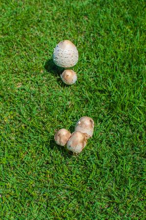 fungi: Fungi mushroom on Grass green