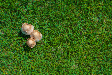 fungi: Fungi mushroom on Grass green