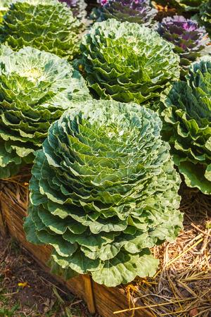 leaved: ornamental leaved Kale
