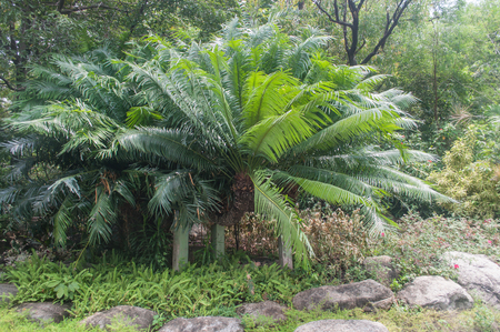 cycad: Cycad Palm plant in forrest Stock Photo