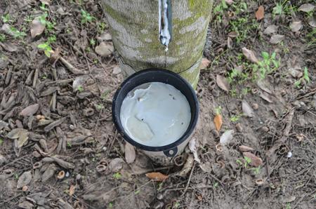 tapper: rubber tree