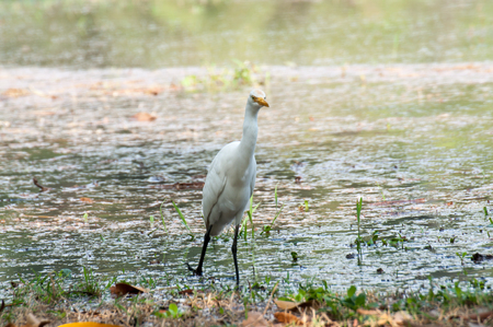 whooping: Whooping Crane on green grass