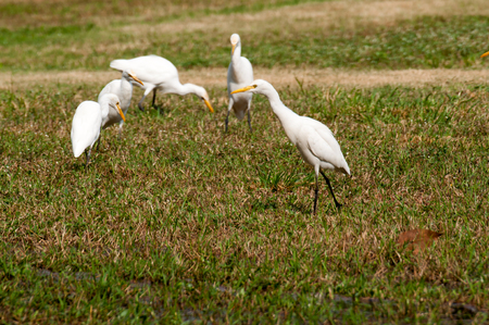 wade: Whooping Crane on green grass