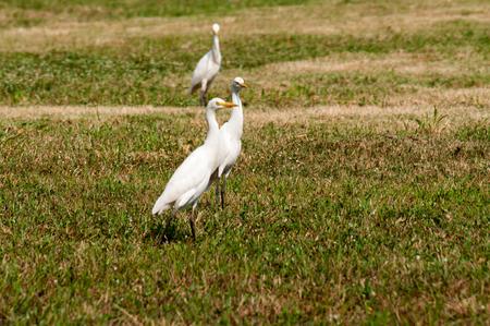 birding: Whooping Crane on green grass
