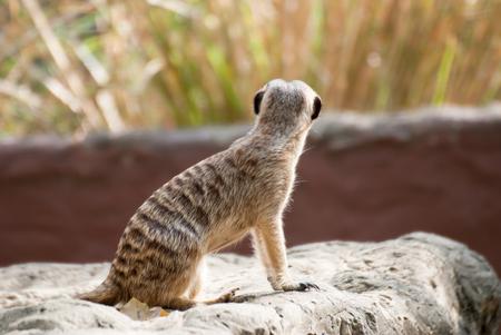 suricatta: Alert Suricate or Meerkat Suricata suricatta, standing to lookout Stock Photo