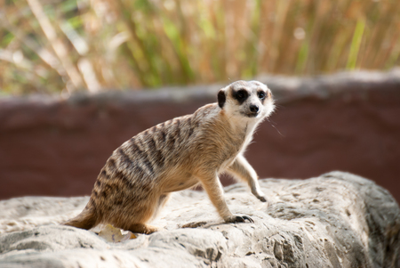 suricata: Alert Suricate or Meerkat Suricata suricatta, standing to lookout Stock Photo