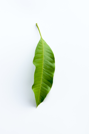 mango leaf: Mango leaf isolated on white background