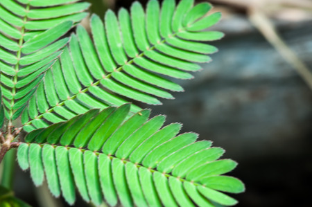 leafs: A leafs of the mimosa