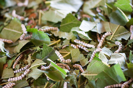 sericulture: The living silkworm were eating mulberry leaves Stock Photo
