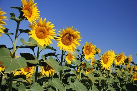 avignon: Provence Sunflowers