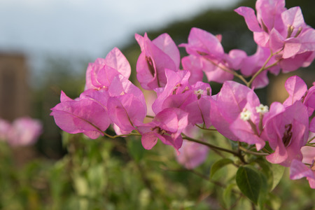 bougainvillea flowers: Beautiful magenta bougainvillea flowers tree. Stock Photo