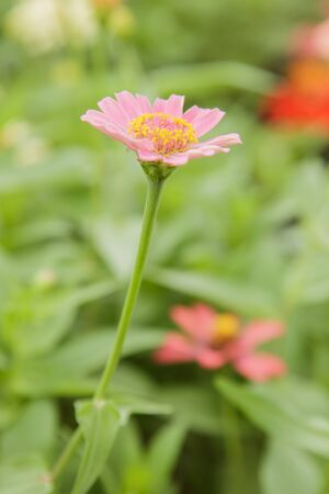 zinnia: zinnia flowers
