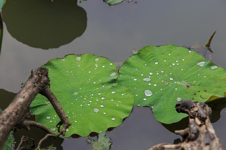 r fine: Lotus leaf with water drop