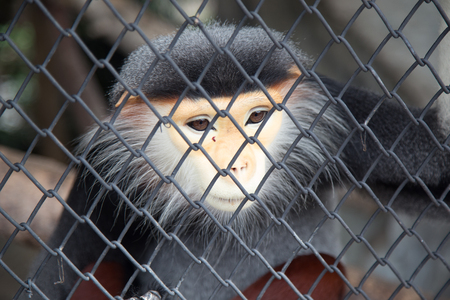 sorrowfully: Sad Red-shanked Douc in cage.