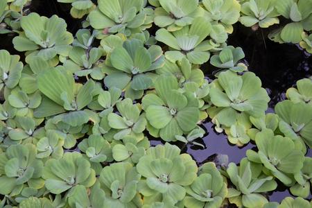 duckweed: Duckweed in pond