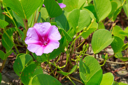 pes caprae: Ipomoea flowers on the beaches of Thailand