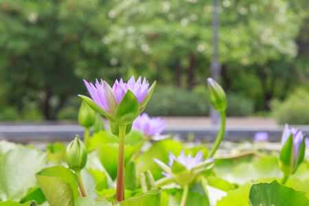 bri: Macro of Purple Waterlily Stock Photo