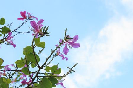 orchid tree: Purple Bauhinia  ,Purple Orchid Tree
